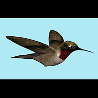 zoo_animals-Humming-Bird